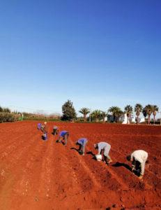 Essais variétés pommes de terre GOPEX au Maroc_2021