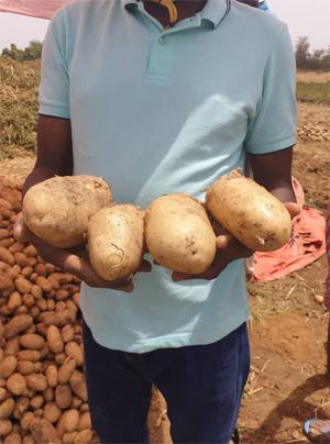 Recolte de la pomme de terre naima au mali
