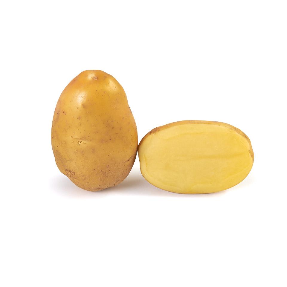 variété de pomme de terre Universa