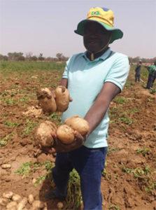 Recolte de pomme de terre naima au mali_2021_2