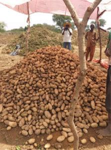 Recolte de pomme de terre naima au mali_2021_3