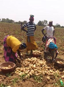 Recolte de pomme de terre naima au mali_2021_4