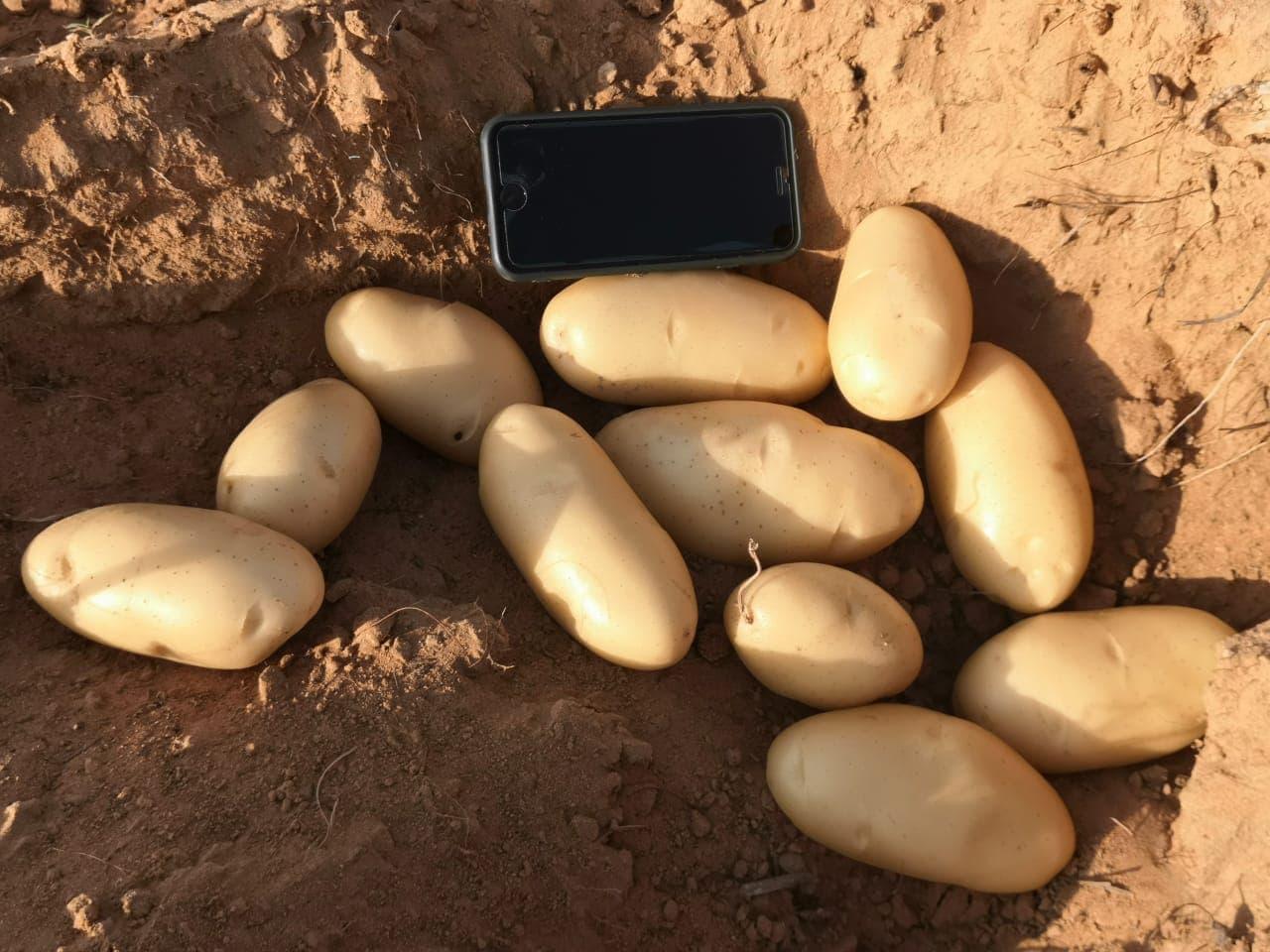 Pomme de terre Naïma aux Emirats Arabes Unis